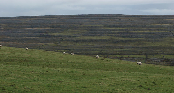 Sheep grazing on the Burren. Ireland